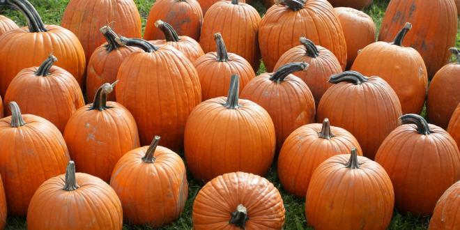 Ripe pumpkins in a field